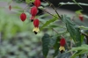 Most viewed - Абутилон (Стаен клен) - Abutilon abutilon-megapotamicum.jpg