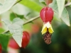 Most viewed - Абутилон (Стаен клен) - Abutilon abutilon_megapotamicum.jpg