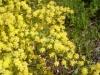 Acacia_truncata-web.jpg