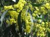 acacia_pycnantha_tree.jpg
