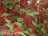 Top rated - Акалифа, Сополко - Acalypha  Acalypha.JPG