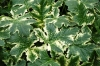 Top rated - Акантус (Синя шапка) - Acanthus Acanthus.jpg