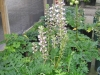 Top rated - Акантус (Синя шапка) - Acanthus acanthus_mollis_2.JPG