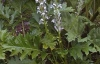 Акантус (Синя шапка) - Acanthus acanthus_summer_beauty.jpg