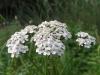 Achillea_millefolium_bloem.jpg