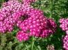 Achillea_millefolium_cv2.jpg