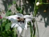acidanthera040912.jpg