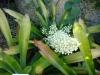 Aechmea_mexicana01.jpg