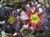 Aeonium_arboreum.jpg