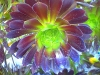Aeonium_arboreum12.jpg