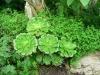 Aeonium_arboreum_Atropurpureum.jpg