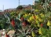 encinitas_aloe_aeonium_garden1.jpg
