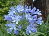 Most viewed - Агапантус (Декоративна лилия) - Agapanthus  Agapanthus_africanus.jpg