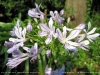 Most viewed - Агапантус (Декоративна лилия) - Agapanthus  Agapanthus_africanus2.jpg