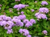 Last additions - Агератум, Синьо пухче - Ageratum  Ageratum10.jpg
