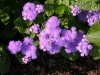 Last additions - Агератум, Синьо пухче - Ageratum  Ageratum12.jpg