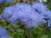 Last additions - Агератум, Синьо пухче - Ageratum  Ageratum15.jpg