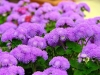 Last additions - Агератум, Синьо пухче - Ageratum  Ageratum16.jpg