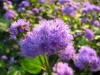 Last additions - Агератум, Синьо пухче - Ageratum  Ageratum17.jpg