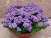 Last additions - Агератум, Синьо пухче - Ageratum  Ageratum18.jpg