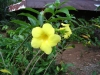 Most viewed - Аламанда - Allamanda cathartica   Allamanda_cathartica.jpg