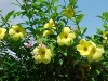 Most viewed - Аламанда - Allamanda cathartica   alamanda03.jpg