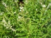 Top rated - Алойзия - Aloysia Aloysia_triphylla.JPG