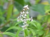 Top rated - Алойзия - Aloysia Aloysia_triphylla1.jpg