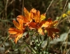Last additions - Алстромерия - Alstroemeria aurantiaca 776px-Alstroemeria_aurea.jpg