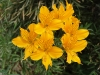 Last additions - Алстромерия - Alstroemeria aurantiaca alstroemeria_aurantia3.jpg