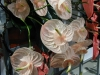 Top rated - Антуриум - Anthurium  AnthuriumTwingo.jpg