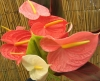 Most viewed anthurium_colors_2.jpg