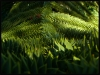 araucaria-bariloche-080101-P_15905a.jpg