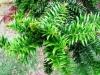 araucaria_bidwillii2.JPG