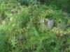 Asparagus_densiflorus_03_asparagus_fern.jpg