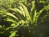 FougerescolopendreAsplenium_scolopendrium.jpg