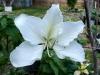 2523_LEGUMINOSAE_Bauhinia_purpurea___Alba.jpg