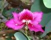 Bauhinia_blakeana_(Hong_Kong_orchid_tree)_1.jpg