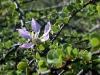 Bauhinia_grandidieri_flower_2503.JPG