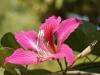 bauhinia_purpurea-dsc02189-wp.jpg