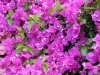 Bougainvillea_spectabilis.jpg
