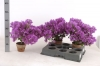 bougainvillea-alexandra-002.jpg