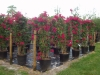 Most viewed bougainvillea.jpg