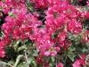 Most viewed starr_030418_0060_bougainvillea_spectabilis.jpg