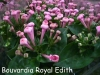 Bouvardia_Royal_Edith.jpg