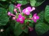 bouvardia_dark_pink.jpg