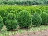 Most viewed Buxus_sempervirens7.JPG