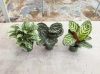Most viewed Calathea_1.jpg