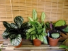 Most viewed - gradinar's Gallery calathea1.jpg
