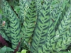 Most viewed calathealeopardina01.jpg